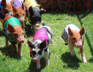 Comedy Pig Races